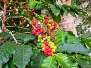 This is a coffee tree, Coffea canephora 'Robusta'. It is is native to the forests of Ethiopia and today it is grown throughout Asia and Africa.