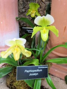 Paphiopedilum 'Jocelyn' is a pretty hybrid orchid.