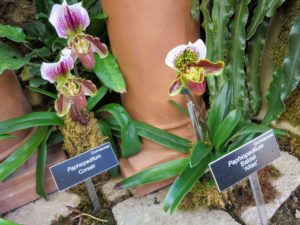 "Known as ""paphs"" in the world of horticulture, members of this genus are considered highly collectible by orchid fanciers because of the unusual flower forms. They have the pouch-like flowers, which trap insects seeking nectar."