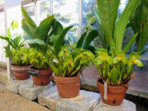 These orchids are called Sudamerlycaste ciliata from Peru.