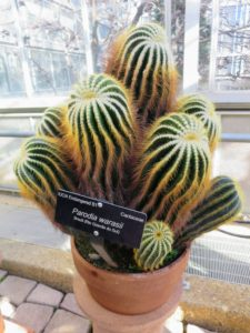 The Conservatory also maintains Rare & Endangered species including this Parodia warasii, an endangered cactus.