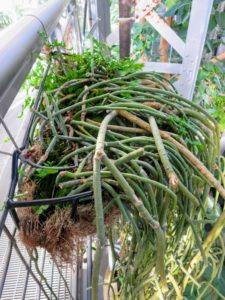 This is called Rhipsalis - a genus of epiphytic cacti. They are typically known as mistletoe cacti. The scientific name derives from the Ancient Greek term for wickerwork, referring to the plants' habit.