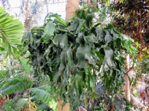 From a higher level of the Conservatory, Ryan caught this snapshot of another giant staghorn fern.