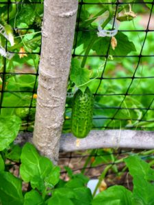 The vines grow up the trellises, and the mature cucumbers hang down from the net for easy harvesting. When it is time to harvest, the cucumbers will be pulled from the back of the frame.