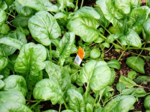 Here is an opened sachet just sitting on the soil within the plant bed in my vegetable greenhouse.