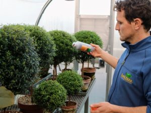 Ryan then goes into our smallest greenhouse to treat the topiaries, so that whiteflies do not populate on these specimens.