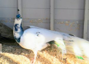 The Silver Pied peacock is a white bird with about 10 to 20-percent color on it, including the bright iridescent blue. He also has white-eyed feathers in his train. He is so stunning when he displays his tail feathers.