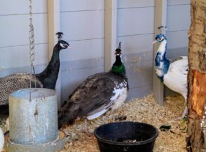 Peafowl are happiest when living in small groups. In this photo are my Bronze peacock, my India Blue peahen and my Black Shoulder Silver Pied peacock. They all get along very well.