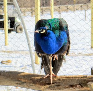Here is one of the males perched on a raised log we built inside the enclosure. Look closely - a peafowl's legs are very strong. They have three toes on each foot facing forward, and one facing backwards. They also have sharp, powerful metatarsal spurs that are used for defense. Also, as they develop, males will tend to have longer legs than females.