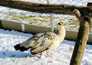 Peafowl are very smart, docile and adaptable birds. They are also quite clever and very curious. The outdoor grounds crew is completing a project right outside the enclosure, and these birds are watching every step.