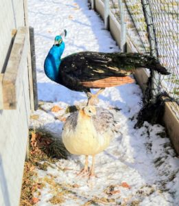 It's been very cold here in the Northeast, but here is the other male and a peahen venturing out of their coop. This entire space is enclosed to keep them safe. The netting is made of nylon and is strong enough to weather the elements and to keep the peafowl protected.