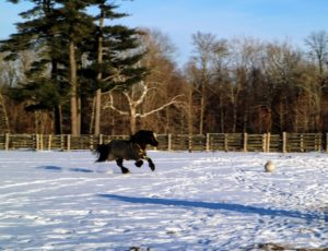 And here he is galloping - it was a cold day - only about 25-degrees Fahrenheit, but these equines did not mind at all.