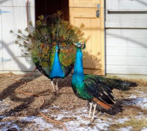 As beautiful as peafowl are, they don't make very melodious sounds. Peafowl have 11 different calls, with most of the vocalizing made by the peacocks. And, with their sharp eyesight, peafowl are quick to see predators and call out alarms. Oftentimes, I can hear them all the way from my Winter House.