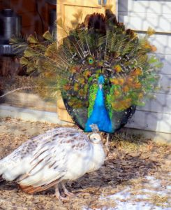 This male is fanning his tail feathers for the peahen. Right now, these feathers are very short. He won't have his full tail until at least three years of age. Peahens usually choose males that have bigger, healthier plumage with an abundance of eyespots.