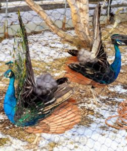 Here are both males showing off their short tales. Peacocks shed their feathers once a year after breeding season and then grow them back - each time looking more showy and beautiful. The train gets longer and more elaborate until five or six years old when it reaches maximum splendor.