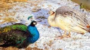 Peafowl are ground feeders. They do most of their foraging in the early morning and evening. As omnivores, they eat insects, plants, grains and small creatures.