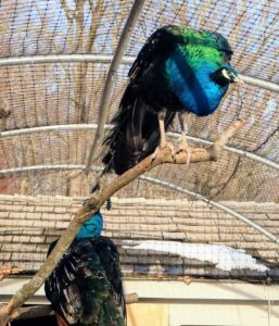 While peafowl are ground feeders and ground nesters, they still enjoy roosting at higher levels. In the wild, this keeps them safe from predators at night. My outdoor birds all have access to natural perches made from old felled trees here at the farm. It is important that they have a variety of perches upon which to roost.