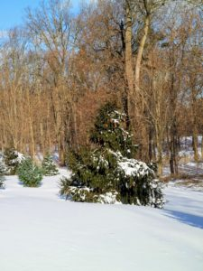 In my pinetum, the snow looks so beautiful on the branches, but when it is heavy and wet, it also weighs them down.