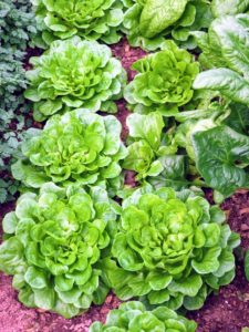 And everyone knows I love fresh lettuce - I grow lots of lettuces all year long.