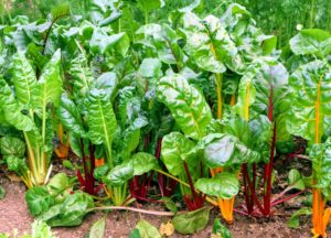 The Swiss chard stalk colors are so vibrant with stems of red, yellow, rose, gold, and white. Chard has very nutritious leaves making it a popular addition to healthful diets.
