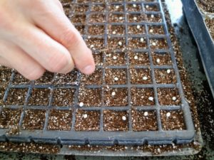 Ryan drops the pelleted onion seeds evenly into each compartment.