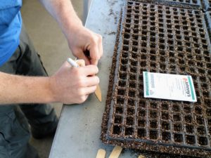 Wooden markers or popsicle sticks work well. Write the onion variety on one side and the date they were sown on the other. In this tray, Ryan will plant Sierra Blanca.