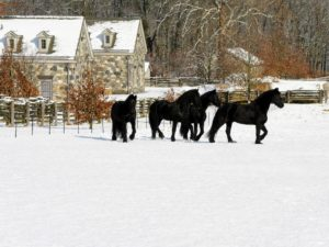 The Friesian is a horse breed originating in Friesland, in the Netherlands. Although the conformation of the breed resembles that of a light draft horse, Friesians are graceful and nimble for their size.