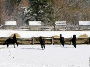 I love this photo of them galloping - the four snow-capped chicken coops are in the distance.