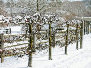 We planted this 'Gravenstein' apple espalier about seven years ago. It produced some wonderful apples this season - a few are still hanging onto their branches. Malus 'Gravenstein' is an antique variety that is well known for cooking sauce, cider and eating out of hand. The fruit is large, with crisp white flesh and a distinct, juicy flavor.