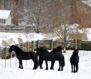 Out in the paddock are four of my gentle and dear Friesians - Rinze, Rutger, Meindert and Ramon.