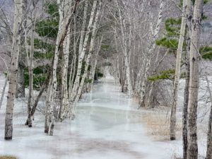 And here is Hemlock trail. Residents ice skate between these birch trees - it's a beautiful view.