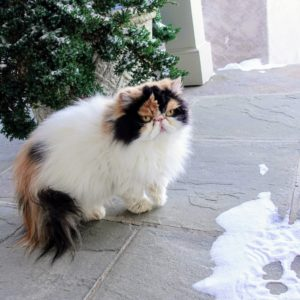 Here is Princess Peony just outside on my large porch. All the cats stay close to my house whenever they go outdoors.