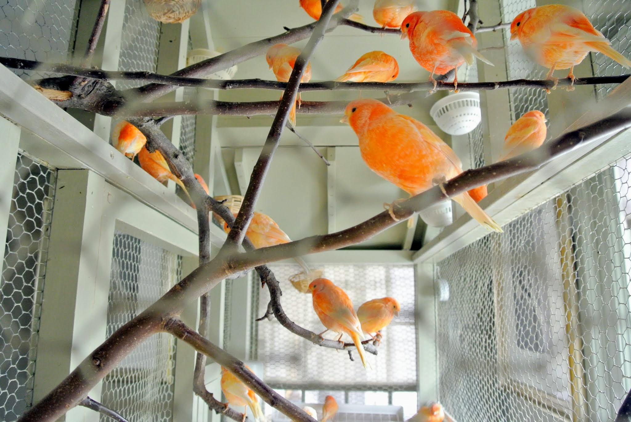 A Visit With My Beautiful Canaries The Martha Stewart Blog