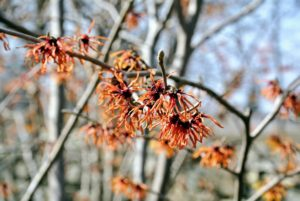 Hamamelis virginiana is found in wooded areas from Canada to Georgia. Clusters of citrus-scented petals appear in late fall before the leaves have dropped.