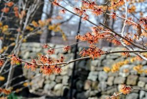 Christened Hamamelis virginiana by Linnaeus himself, the father of botanical nomenclature, back in 1753, witch hazel takes its common name from wych, an Old English word for flexible or pliable, and for having leaves very similar in shape to those of hazelnuts or filberts.