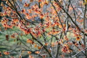 Today, gardeners usually plant witch hazel for its ornamental qualities - in spring and summer witch hazel is a very attractive plant with dark green leaves and graceful, spreading vase shapes.
