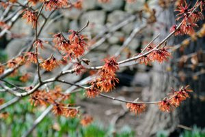 Hamamelis vernalis is native to Missouri and Arkansas - this is the most shrub-like species. Its yellow or red flowers are small, but profuse and appear between January and April.