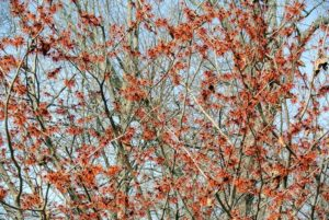 It's a good idea to water witch hazel plants during dry periods, particularly if they are young or still establishing. Witch hazels need little feeding, but may benefit from a top dressing of balanced fertilizer in early spring.