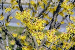 It is great for splashes of winter color. They're very hardy and are not prone to a lot of diseases.