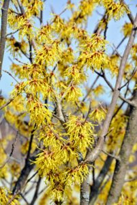 Witch hazel is a genus of flowering plants in the family Hamamelidaceae. Most species bloom from January to March and display beautiful spidery flowers that let off a slightly spicy fragrance.