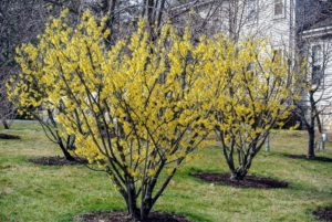 Witch hazel grows as small trees or shrubs with clusters of rich yellow to orange-red flowers.
