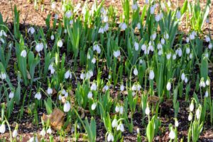 Snowdrops don't often multiply from seed in a garden, but they will multiply by offsets - new bulbs that grow attached to the mother bulb.