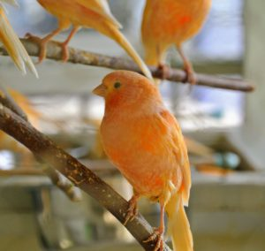 "First bred in the early 1900s, this canary is the only color-bred variety with a ""red factor"" as part of its genetic makeup. They were originally developed by crossing a red siskin and a yellow canary."