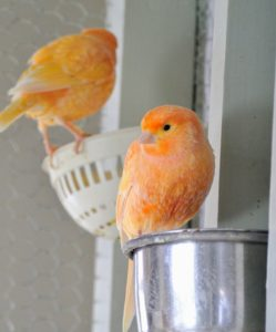 The bold color and alert expression are both signs of a canary's good health.