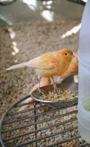 Red factor canaries need certain nutrients to maintain their bold, colorful plumage. Fresh foods containing beta-carotene, canthaxanthin and carotenoids along with greens and the appropriate canary seed make up a good well-balanced diet.