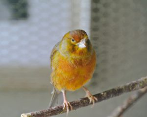 Canaries are generally good-natured, social creatures with joyful dispositions.
