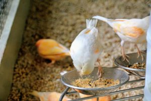 Here is a very light colored canary feasting on the fresh bowl of seeds.