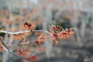 Hamamelis virginiana is the most common native witch hazel in North America.