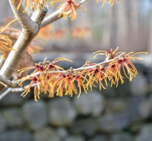 While most varieties reach 10 to 20 feet high and wide at maturity, witch hazels can be kept smaller with pruning once they are finished blooming.