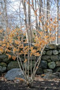 Hamamelis x intermedia 'Jelena' is a popular cultivar with its coppery orange flowers that appear in early to mid-winter.